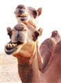 Camels Always Smile