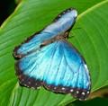 Blue Morpho Butterfly - Costa Rica