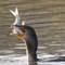 Cormorant Breakfast  at Cedar Lake 12 07 2015    009