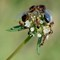 ND2856c - Carpenter Ant Alates