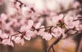 Cherry blossoms blooming in Beijing.