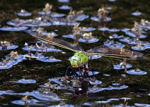 Emperor Dragonfly  laying dpr