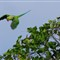 Psittacula eupatria