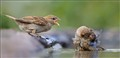 House sparrow - epic quarrel