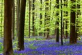 Haller Forest in spring, Belgium