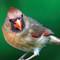 Female Cardinal 1200