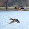 some-ducks_32894521596_o