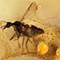 2017 Amber 016 March Diptera Nematocera