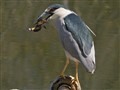 Black Crowned night heron with catfish