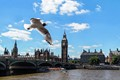 Black Headed Gull - London