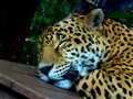 Praying Jaguar