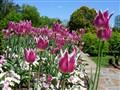 Purple Tulips Longwood Gardens