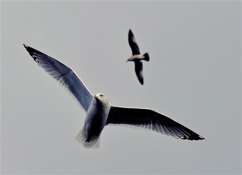 Gulls..