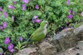 Wild Parrot In Park Guell, Barcelona