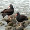 Oyster Catchers_730