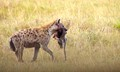 Hyena skulking across the Masai Mara grasslands early morning with a wildebeest foetus stolen from a lion kill.