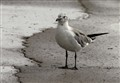 spotted seagull