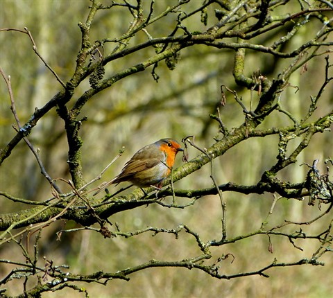 Robin amongst foliage-001