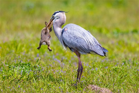 Blue Heron and baby rabbit