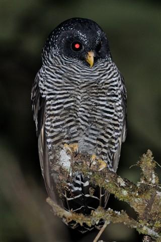 Black-banded Owl 1
