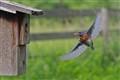 Bluebird soaring