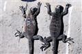 Climbing marine iguanas - Galapagos Islands
