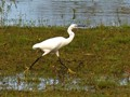 Little Egret Stepping Out