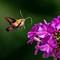 Hummingbird Moth 2: OLYMPUS DIGITAL CAMERA