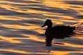 Duck at Sunrise