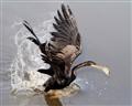 Anhinga Snags a Fish