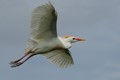 Cattle Egret in Flight - Mating colors