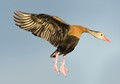 black bellied whistling duck getting ready to land