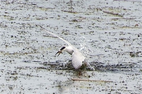 Forster's Tern Catching a Minnow (Sterna forsteri)