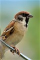 sparrow_portrait