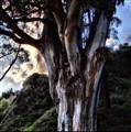Eukee Tree