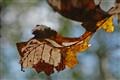 Oak tale