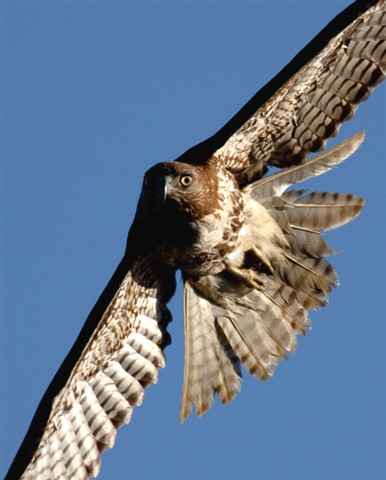 cool hawk sm tightcrop