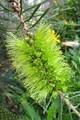 Green Callistemon