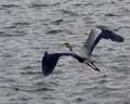 Blue Heron  over water