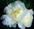 Three White Peonies