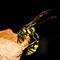 Potter wasp build her nest