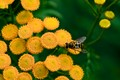 YELLOW FLOWER, YELLOW FLY