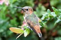Hummingbird at Saint Juan Capistrano