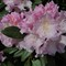 Rhododendron American Beauty