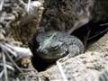 Shy frog