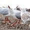 Silver gulls_168A0148
