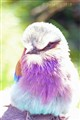 Lilac Breasted Roller1