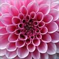 Pink tone petals