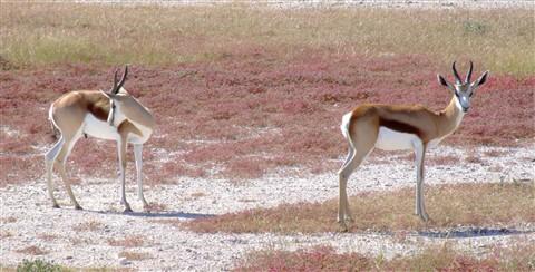 springbok pair