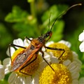 Assassin Bug (family Reduviidae)
